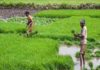 #KhabarLive Hyderabad | Hyderabad, KhabarLive, Breaking News, Business,  Analysis, IPS-A16022-labourers-farming-paddy-india-100x70 NEWS